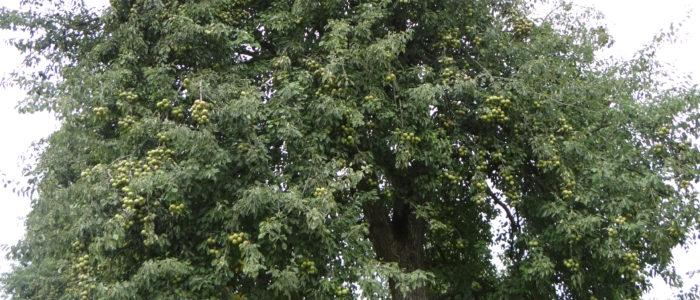 Poirier variété Plant de Blanc